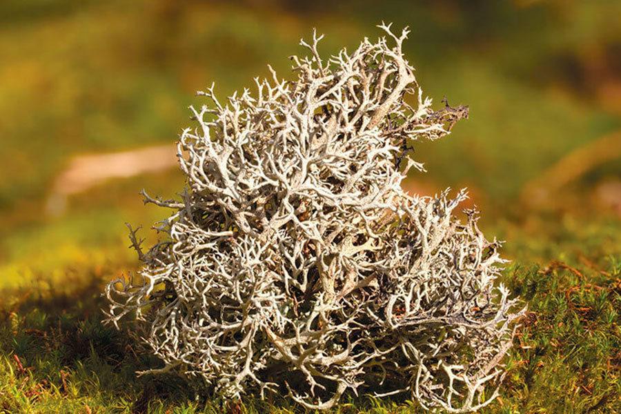 Лёгочный мох