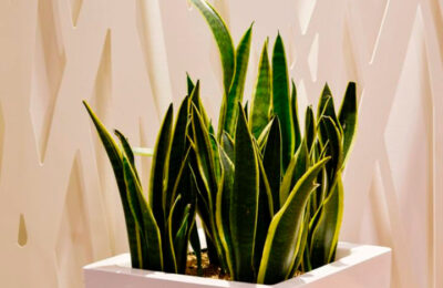 Сансевьера — не только красивый цветок, но и лечебный